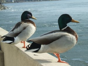 Ducks on Lake Monona