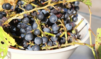 bowl of wild grapes
