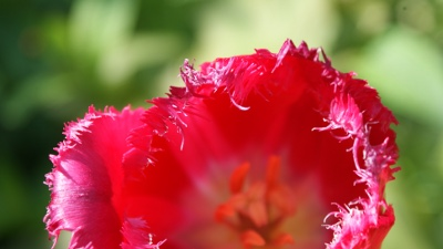 Red fringed tulip